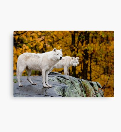 Arctic Wolves On Rocks Canvas Print