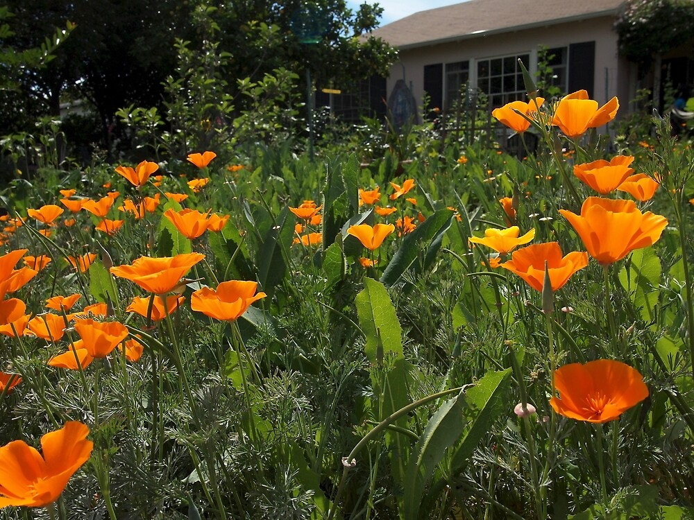 California Poppies by Douglas E.  Welch