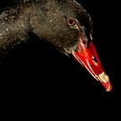 Black Swan ~ Western Australia by EverChanging1