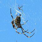 Balfour Spider by Brian Damage