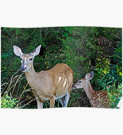 Whitetail Deer Doe and Fawn Poster