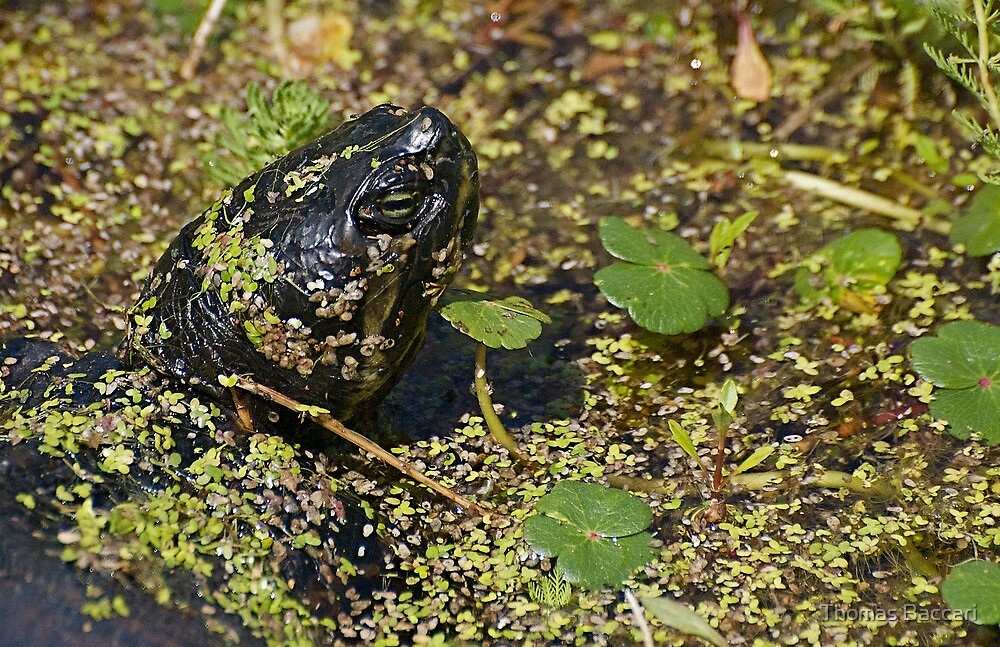 Turtle Popping Up From Beneath the Swamp by TJ Baccari Photography