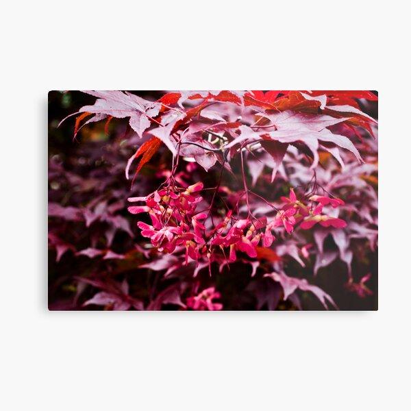 Japanese Maple with fuschia samaras Metal Print
