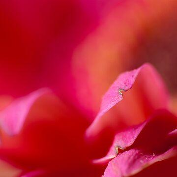 Gerbera #24 - daisy macro by jeliza