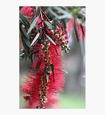 Aussie Bottlebrush Flower Photographic Print
