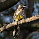 Young Adult Red Wattle Bird in Jacaranda by Sandra Chung