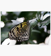 Rice Paper Butterfly - Krohn Conservatory Poster