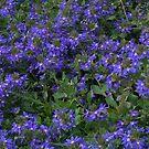 Feeling Blue by photosbycoleen