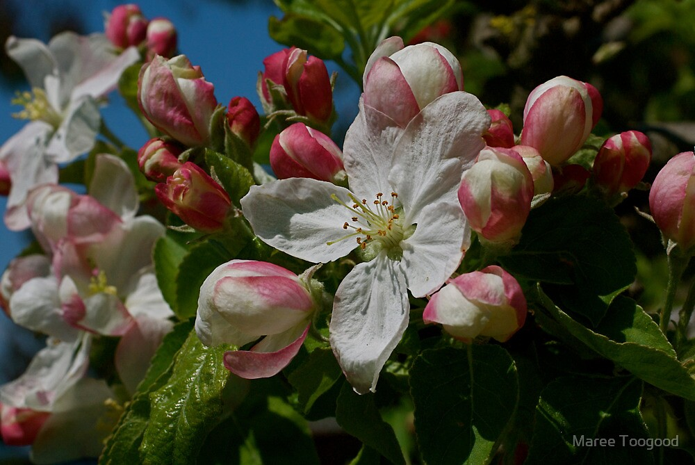 Apple Blossom Time by Maree Toogood