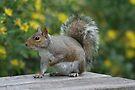 Squirrel 6 by Peter Barrett