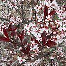 Prunus Cistena by Sarinilli