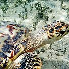 Sea Turtle by Melissa  Carroll