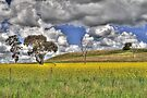Fields Of Canola by Terry Everson