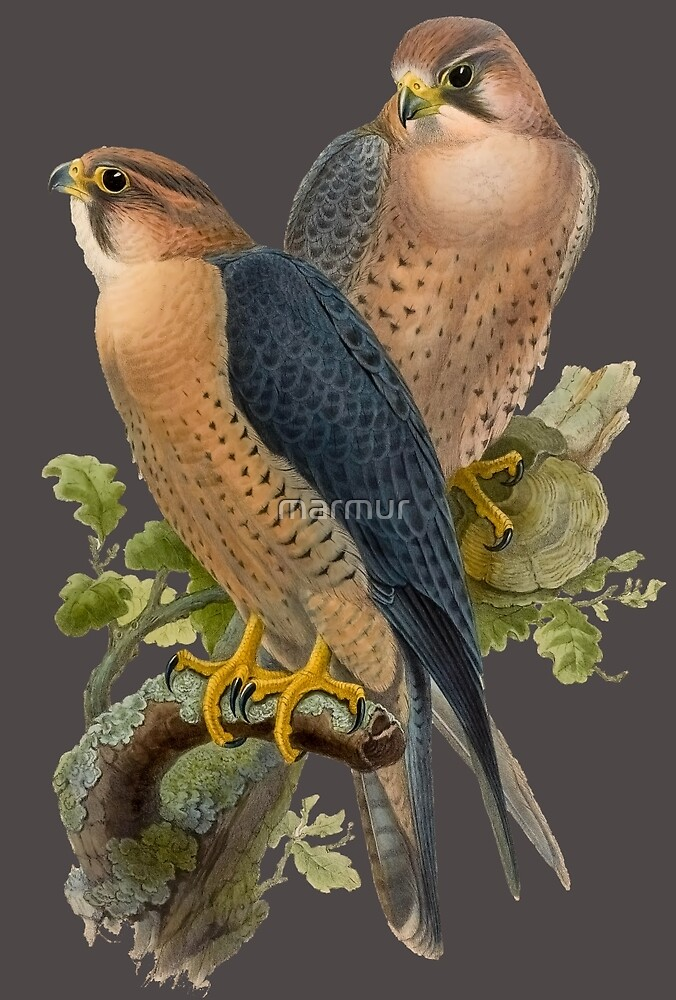 falco babylonicus by marmur