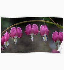Macro Bleeding Heart Flowers Poster