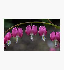 Macro Bleeding Heart Flowers Photographic Print