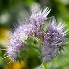 Purple Flowers by Dean Messenger