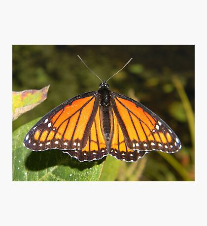 Monarch male basking in the sun. Photographic Print