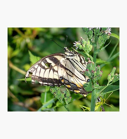 A male Eastern Tiger Swallowtail. Photographic Print
