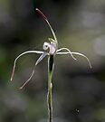 Caladenia rigida  by LeeoPhotography