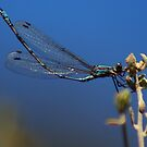 Damsel Fly,Kalgoorlie West Australia by robynart
