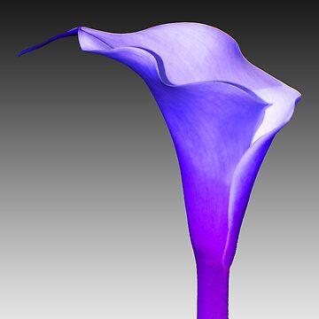 Single Blue Arum Lilly  by dizzyg