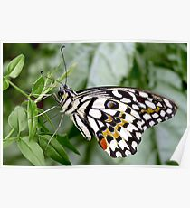 Common Lime Butterfly, Papilio demoleus Poster