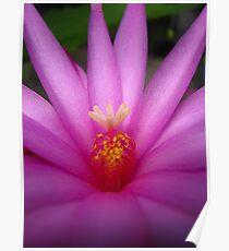 Zygocactus (Easter Cactus) Flower  Poster