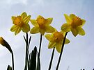 The first Daffodils of spring! by William Brennan