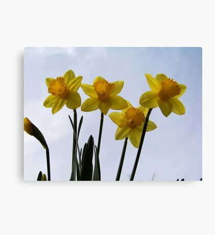 The first Daffodils of spring! Canvas Print