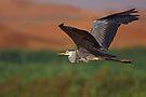 Desert Marsh Heron  by David Clark