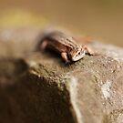Female Common Lizard by kernuak
