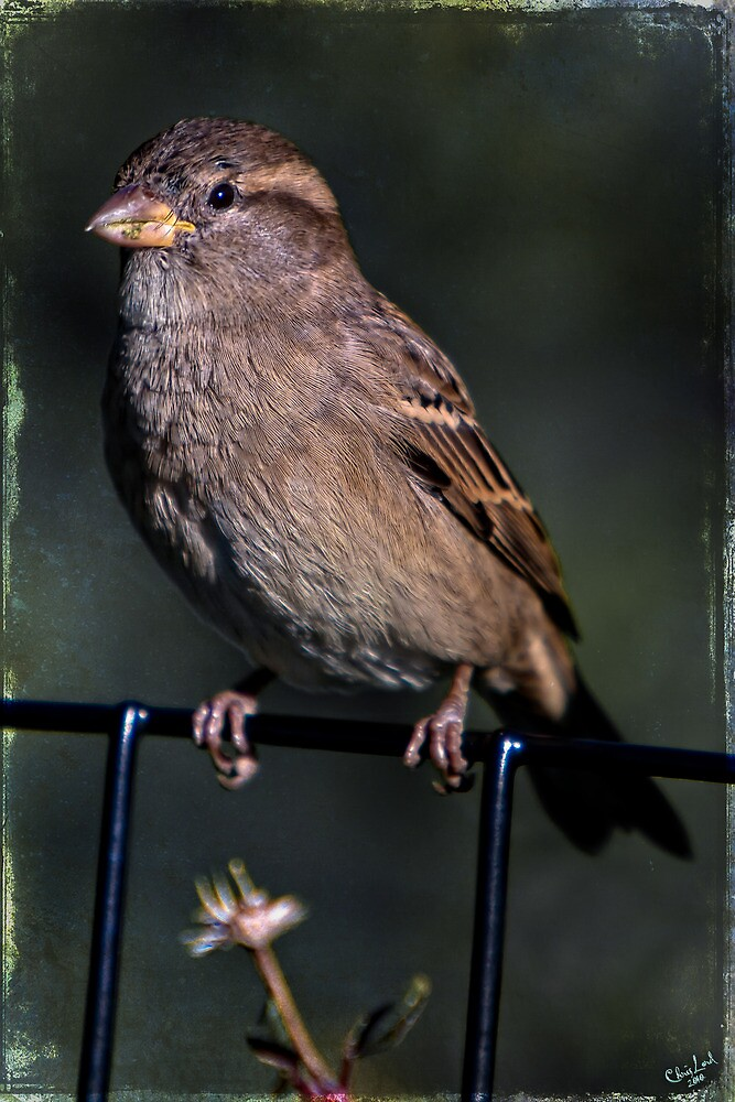Portrait of a Common Sparrow by Chris Lord