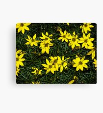 Patch of coreopsis flowers Canvas Print