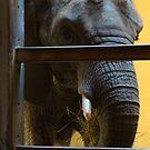 Elephant Feeding Time by Journeysinphoto