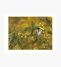 New Holland Honeyeater Art Print