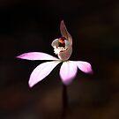 Caladenia carnea 'Pink Fingers' - Morwell Nat.Park by Bev Pascoe