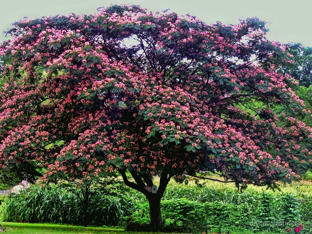 Quot Mimosa Tree Quot By James Brotherton Redbubble