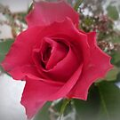 Red Rose (Unknown) by EdsMum