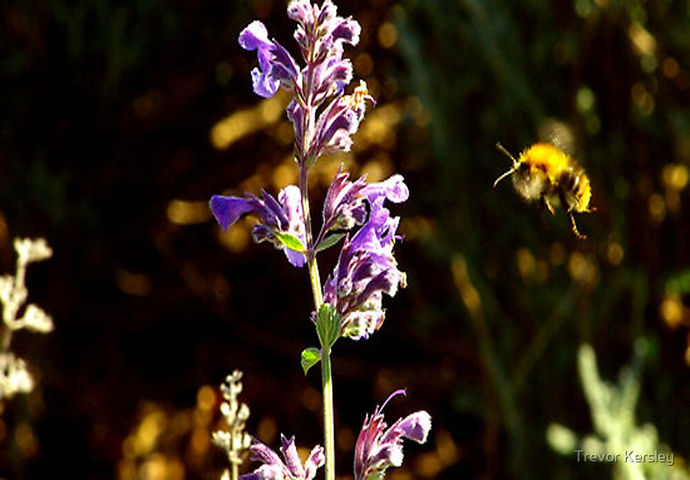 Heading for the Nectar by Trevor Kersley