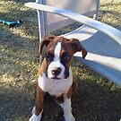Sargent...boxer boy  4 months by PapasGirl