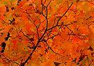 Autumn Maple in Ontario by Debbie Pinard