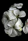Raindrops on Petals by Debbie Pinard