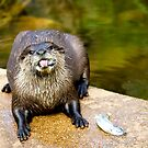 Otter  (Aonyx cinerea), touch that fish??? see these teeth, by Elaine123