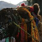 working camel. rewalsar lake, northern india by tim buckley | bodhiimages