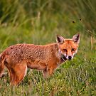 British Red Fox by SWEEPER