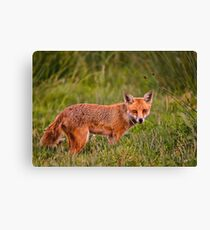 British Red Fox Canvas Print