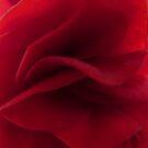 Begonia folds by Photos - Pauline Wherrell