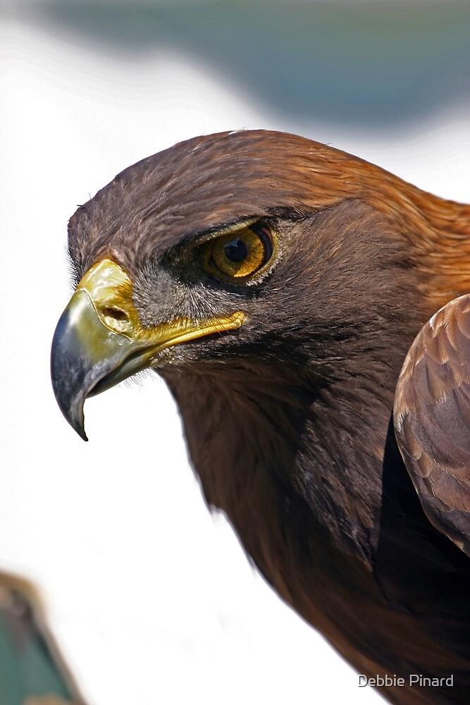 Red Tailed Hawk - Morrisburg, Ontario by Debbie Pinard