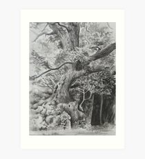 Rothley Park oak Ambleside. Art Print